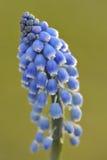 En blomma av druvahyacinten, makro Arkivbilder