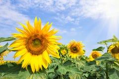 En blomma av en ljus gul solros under en ljus sol Royaltyfri Foto