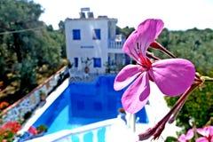 En blomma av en pelargon i Grekland Fotografering för Bildbyråer