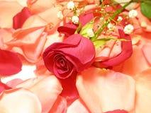 En blomma av en ro royaltyfri fotografi