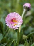 En blomma av en rosa tusensköna Arkivbild