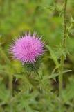 En blomma av en tistel Royaltyfria Foton