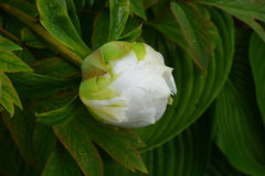 En blomma av en vit pion arkivfoto
