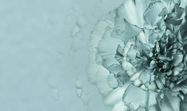 En blomma av envit nejlika på en monophonic bakgrund för turkos Närbild Blom- bakgrund för en vykort Arkivbilder