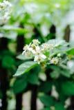 En blomma av ett hallon Blomninghallon i trädgården Ung grodd av hallon i vår Royaltyfri Foto