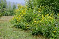 En blomma av krysantemumet, som gör härliga gula blommor att blomma varje år, ändå det kan äta stammar Arkivfoto