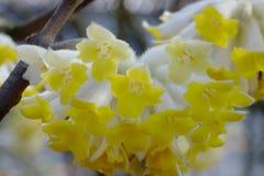 En blomma av Mitsumata som blommar härliga gula blommor, som blommar i vår Arkivbild