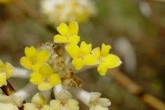En blomma av Mitsumata som blommar härliga gula blommor, som blommar i vår Arkivfoton