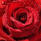 En blomma av en ny förtjusande röd ros som täckas med daggdroppecloseupen Makro Selektivt fokusera arkivfoton