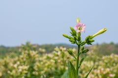 En blomma av tobak i fält. Arkivbilder