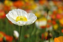 En blomma för vit vallmo arkivbilder