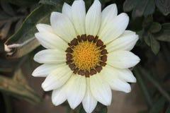 En blomma för vit Zinnia arkivbild