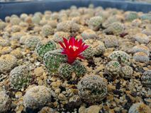 En blomma i en öken Royaltyfri Bild