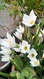 En blomma kallade den Krokus vernusen royaltyfri bild