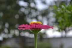 En blomma med bokehbakgrund, rosa blomma, suddighetsbakgrund arkivfoton