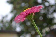 En blomma med bokehbakgrund, rosa blomma, suddighetsbakgrund royaltyfria bilder