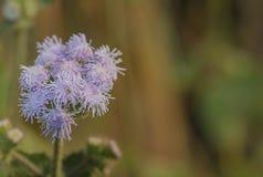 En blomma på secculent Arkivbild