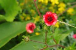 En blomma, Potentillanepalensis Arkivfoton
