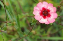 En blomma, Potentillanepalensis Royaltyfri Fotografi