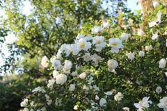 En blomma rosa buske Det täckas med vita blommor royaltyfria bilder