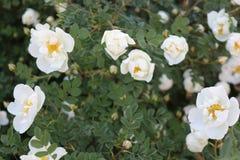 En blomma rosa buske Det täckas med vita blommor fotografering för bildbyråer