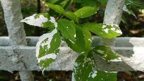 En blomma som befläckas med vit målarfärg Förorening av den omgeende naturen under målningen av staketet