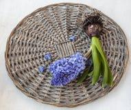 En blommahyacint med kulan och rotar Royaltyfri Bild