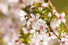 En blommande filial av sakura på den suddiga gräsplan- och rosa färgbackgrouen Fotografering för Bildbyråer