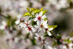 En blommande filial av sakura på den suddiga gräsplan- och vitbackgroen Fotografering för Bildbyråer