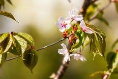 En blommande filial av sakura på suddig grön bakgrund Arkivfoton
