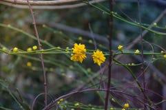 En blommande gul blomma av den Kerria japonicaen Fotografering för Bildbyråer