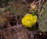 En blommande kaktus i blekmedelranchvildmark parkerar arkivfoton