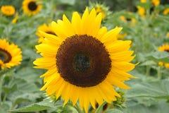 En blommande solros i trädgården Royaltyfria Bilder