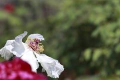 En blommande vit pion arkivbilder