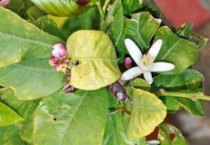 En blomning för citronträd Fotografering för Bildbyråer