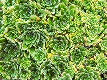 En blomrabatt av den dekorativa växten för Crassulaceaegräsplan Arkivfoton