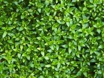 En blomrabatt av den gröna dekorativa växten Royaltyfria Bilder