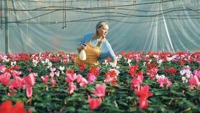 En blomsterhandlare bevattnar cyklamen i krukor i en burk arkivfilmer