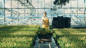En blomsterhandlare drar en vagn med tulpan, medan arbeta i ett växthus, blommabransch arkivfilmer