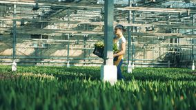En blomsterhandlare går i ett växthus som bär en stor korg med tulpan lager videofilmer