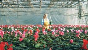 En blomsterhandlare kontrollerar cyklamen i krukan som arbetar i en modern burk stock video