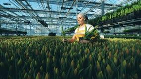 En blomsterhandlare tar tulpan och sätter dem in i en svart hink, medan arbeta i ett växthus stock video
