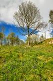 En blubell täckte lutningen i Cumbria på en vårmorgon med en bakgrund av träd Royaltyfri Fotografi