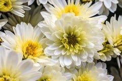 en bolchrysanthemum Royaltyfri Foto