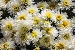 en bolchrysanthemum Fotografering för Bildbyråer
