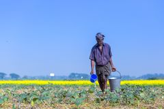 En bonde bevattnar i hans fält för kolonin för äggväxter på Sirajdhikha, Munshigonj, Dhaka, Bangladesh royaltyfria bilder