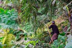 En bonde Cutting Grass Crop för nötkreatur matar i lantgårdfältet på Banjar Kuwum, den Ringdikit byn, norr Bali, Indonesien arkivbilder