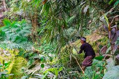 En bonde Cutting Grass Crop för nötkreatur matar i lantgårdfältet på Banjar Kuwum, den Ringdikit byn, norr Bali, Indonesien royaltyfri bild