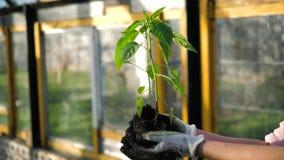 En bonde Hands Holds en tomatplanta i växthuset arkivfilmer