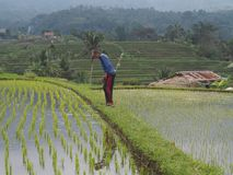 En bonde verifierar bevattningsystemet i en risfält, så att det finns alltid den samma höjden av vatten royaltyfri foto